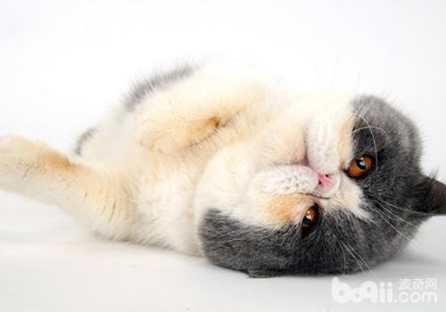 如何治疗猫神经性皮炎-猫咪皮肤病